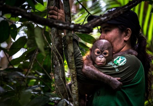 Orang-Utan Gerhana wird von einer Pflegerin getragen