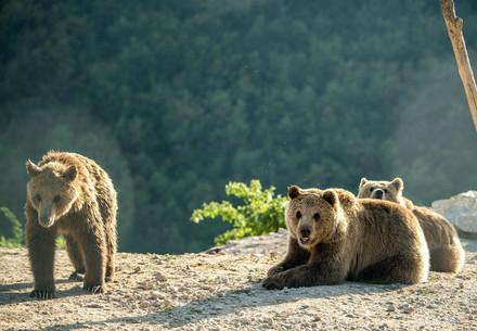 Brown bears Ema, Ron and Oska