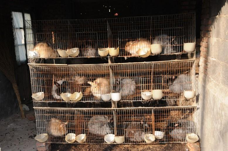 Angora rabbit farm