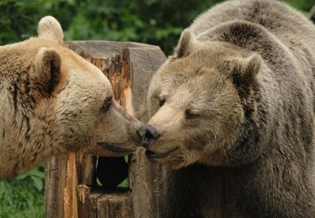 Two bears sharing a kiss