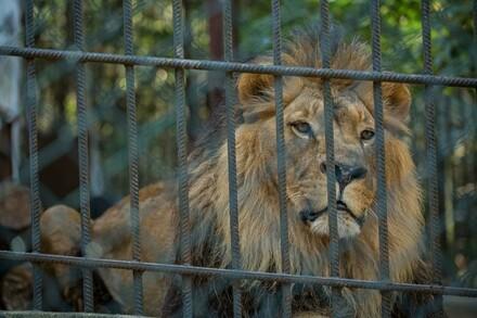 Bulgaria zoo lion