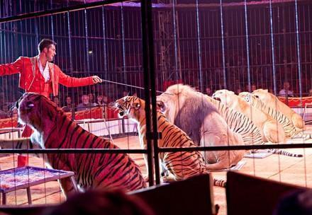 Germany, Uelzen | 2009 09 19 | Zirkus Charles Knie | big cats at the circusring Circus | Circus Knie | DE | 2009| DEU , Deutschland , September 2009, Tiger und Loewe in der Vorstellung beim Zirkus Charles Knie | Germany, circus Knie, Tiger and Lion [ CREDIT: Fred Dott - www.freddott.de - Hoheluftchaussee 139 - D 20253 H a m b u r g - phone +49-40-4303633- fred.dott@t-online.de - Bank: Hamburger Sparkasse BLZ 20050550 Konto 1201407648 IBAN: BIC: Steuernummer 54/371/08570 -- use in case of trouble to get in contact: www.freddott.de- Model und Property Release : nur auf Anfrage ! only on request ! Bei der Verwendung ausserhalb journalistischer Berichterstattung (z.B. Werbung etc.) bitte vorher mit mir Kontakt aufnehmen. Es wird grundsaetzlich keine Einholung von Persoenlichkeits-, Kunst- oder Markenrechten zugesichert, es sei denn, dies ist hier in der Bildbeschriftung ausdruecklich vermerkt. Die Einholung dieser Rechte obliegt dem Bildnutzer] [#0,26,121#], _MG_8920