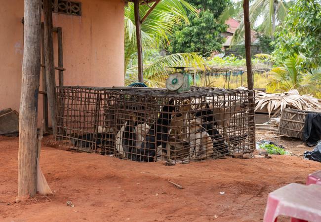 Hunde in Käfigen in Schlachthaus in Kambodscha