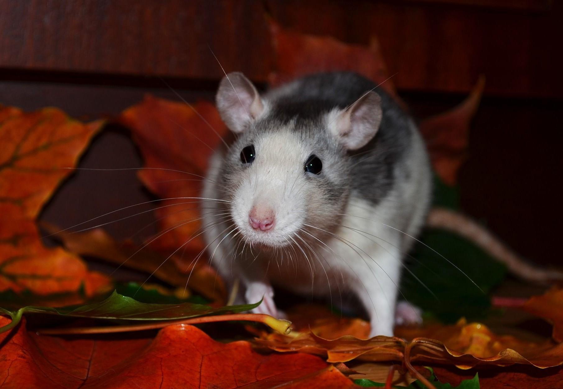 Enclosure for rats