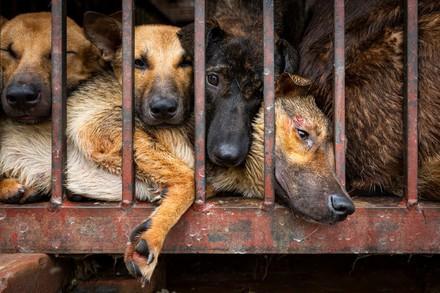 dogs in a age in Hanoi, Vietnam