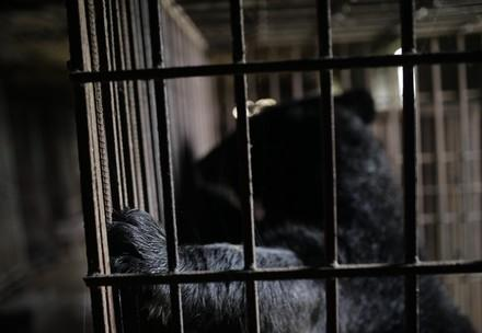 bile bears May and Binh Yen rescued