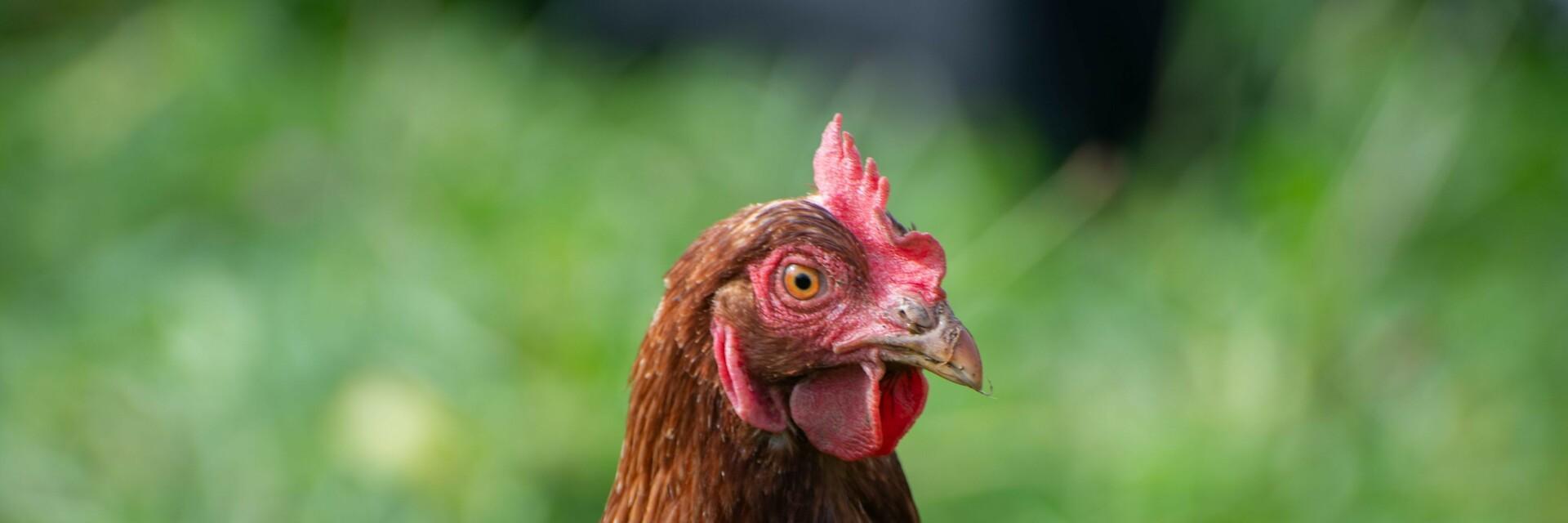Huhn auf einer grünen Wiese