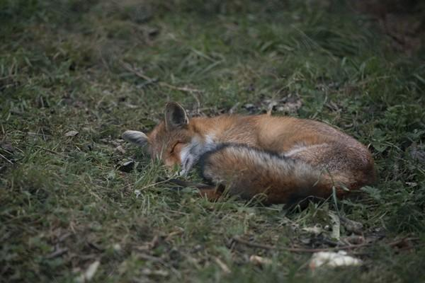 Fuchs Porthos bei TIERART