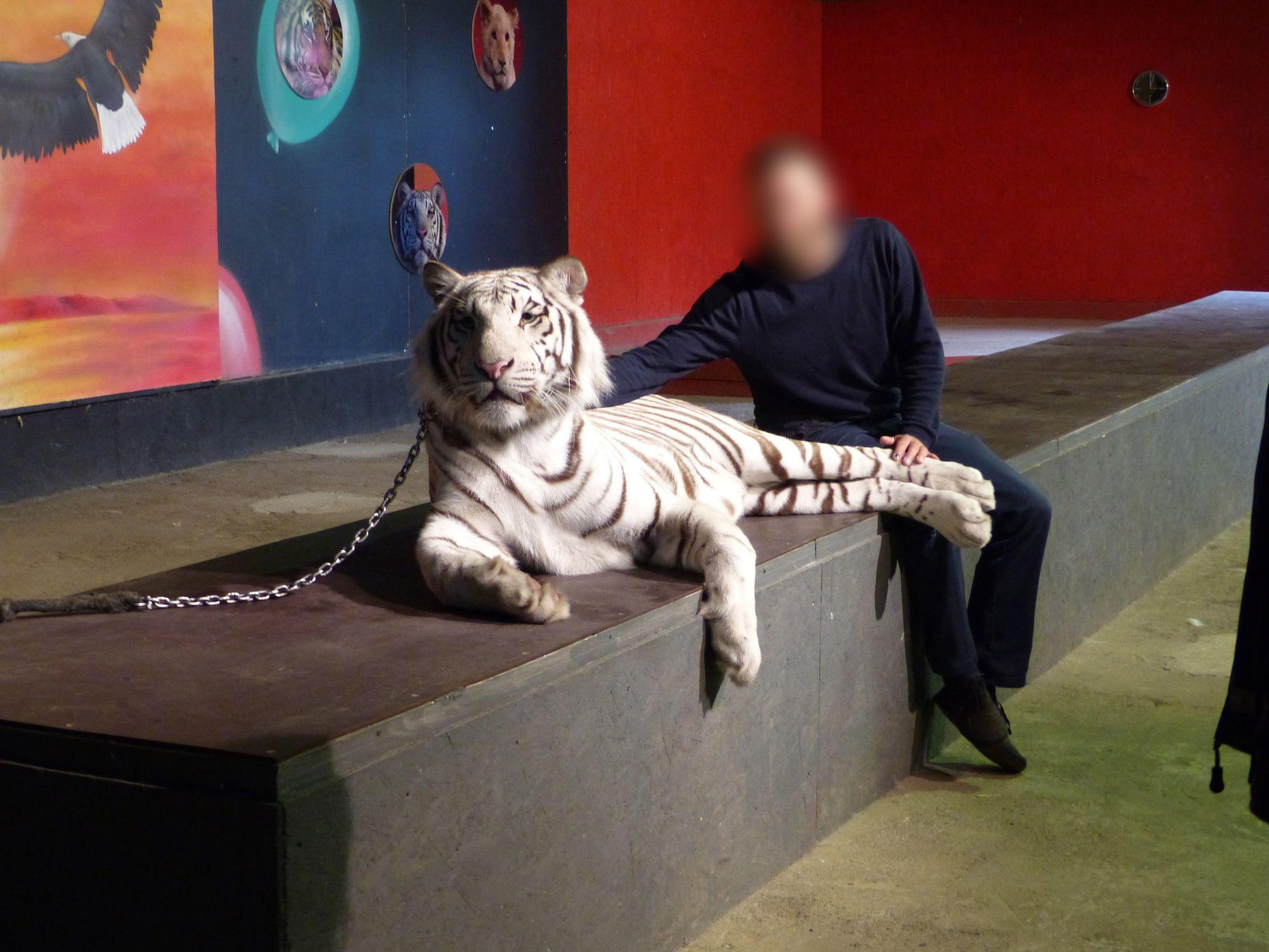 White tiger with party guest