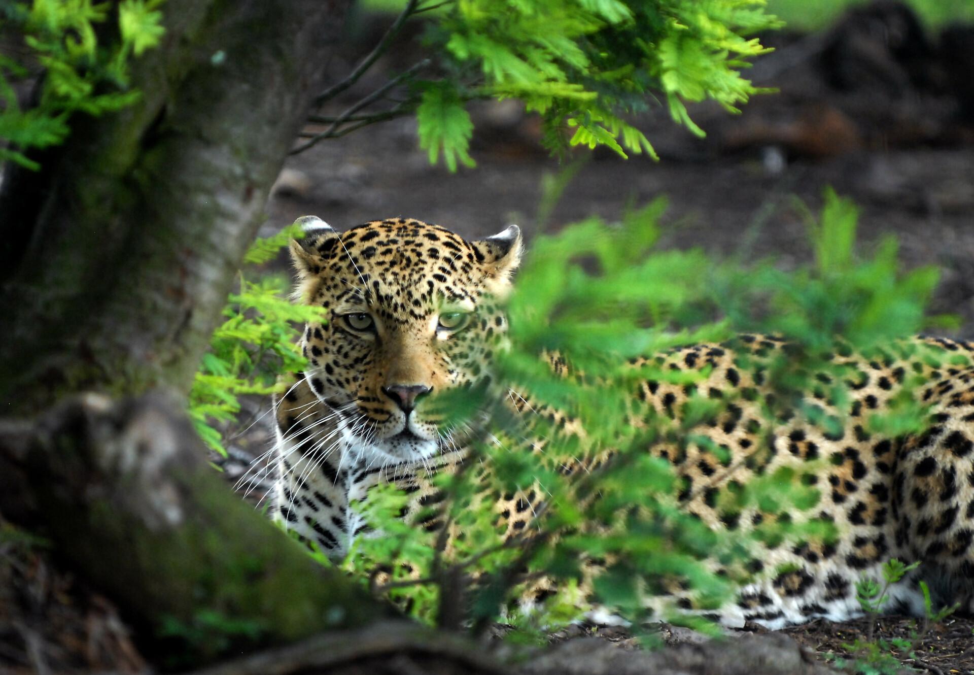 Leopard at LIONSROCK