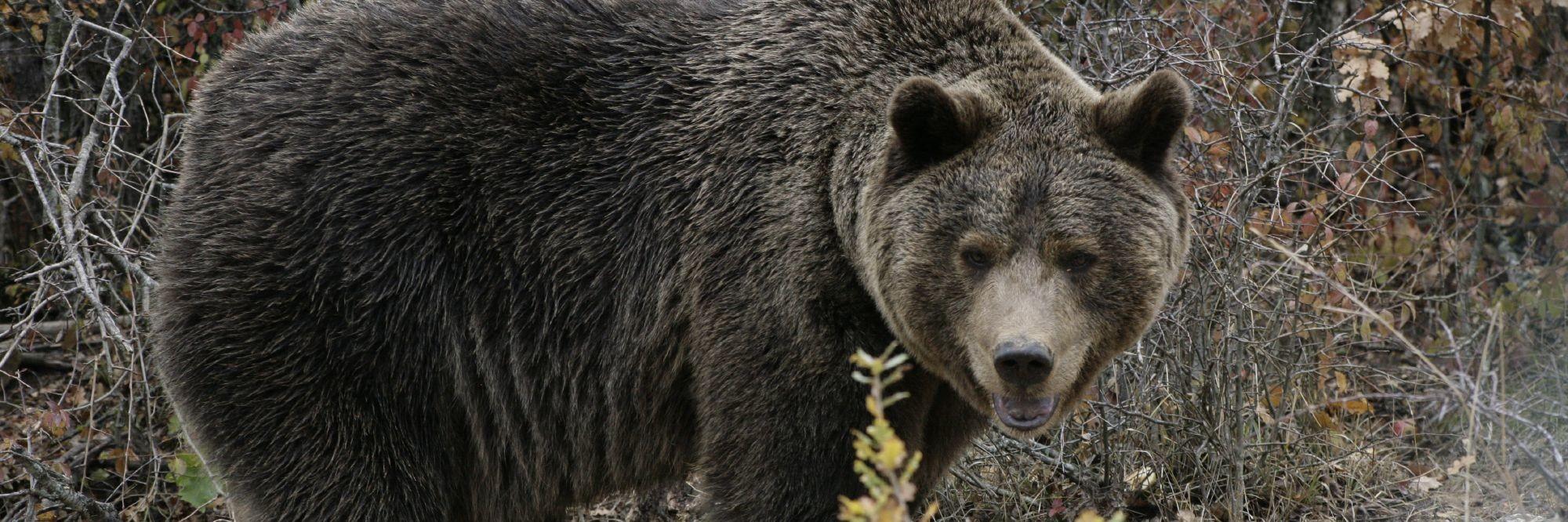 Bear in Prishtina