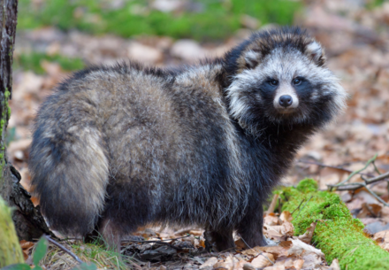 Raccoon dog in the wild