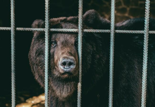 Bär schaut zwischen Gitterstäben hervor