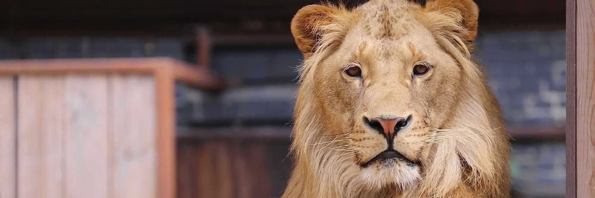 Lion Terez