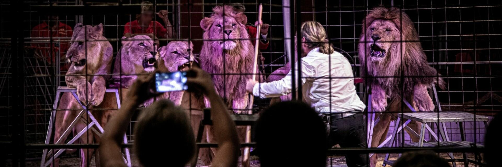 Big cats in a circus