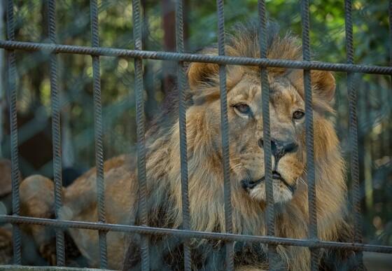 Lonely lion Lyubo