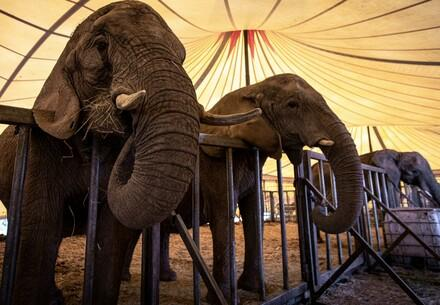 Elephants in Circus, Germany