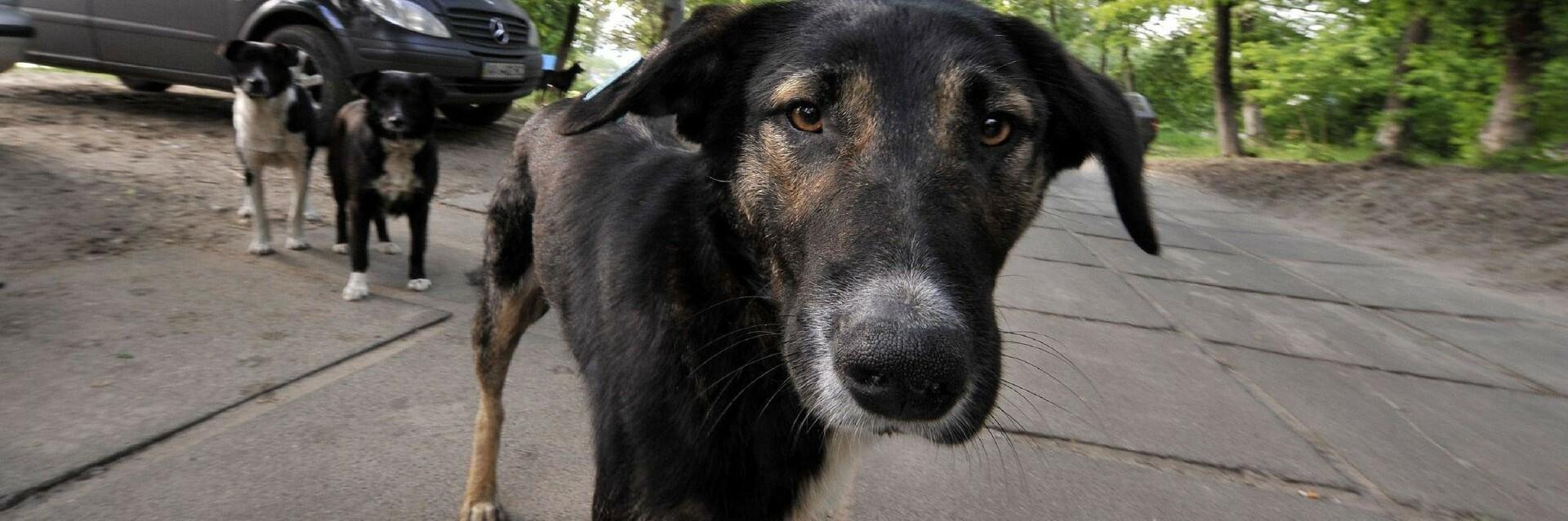Stray dogs in Ukraine