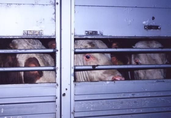 Rinder auf dem Weg zum Schlachter