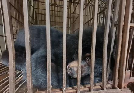 Asiatischer Schwarzbär in einem Käfig