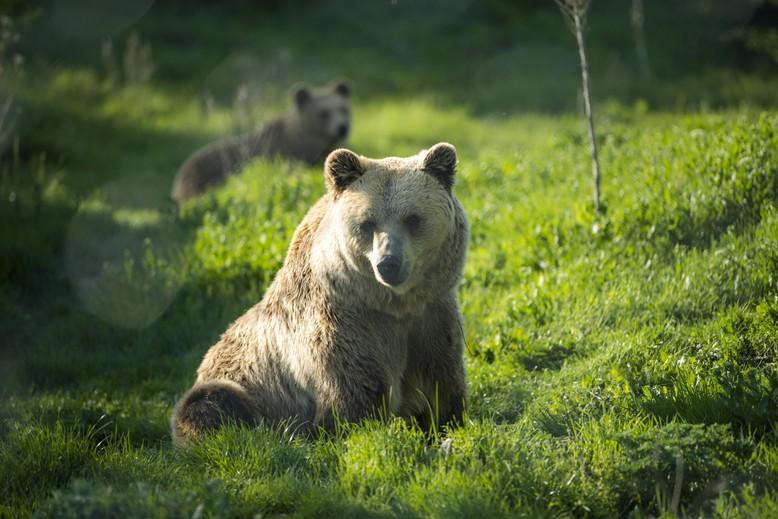 Brown bear Hana sitting in the grass