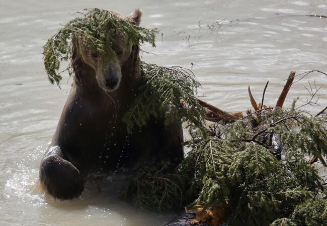 Bär Napa im Teich