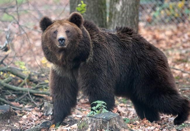 Bear Lelya