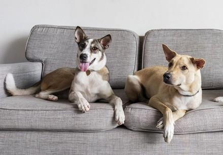 Hunde auf dem Sofa