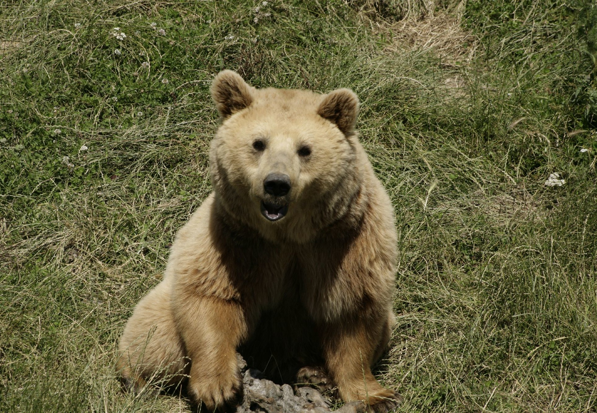 Brown bear Lena sitting in the grass