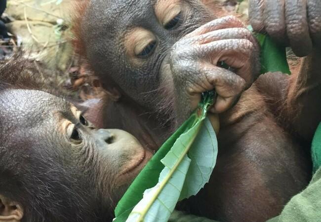 Orangutans Damai and Lestari