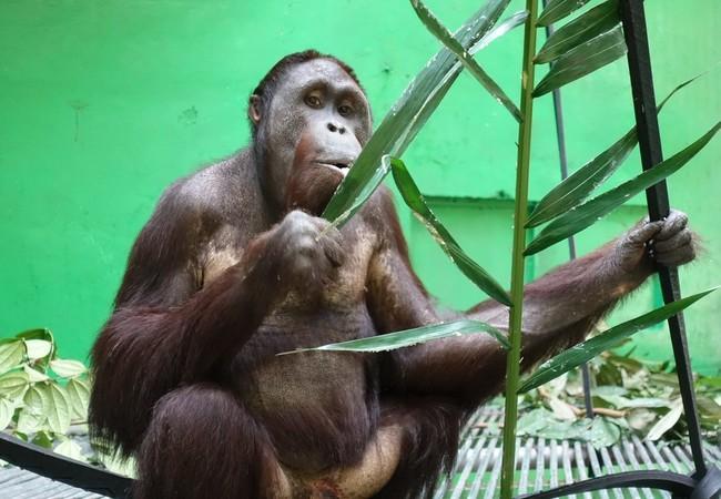 Orangutan Robin