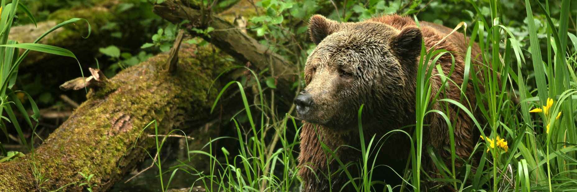 A natural home for rescued brown bears