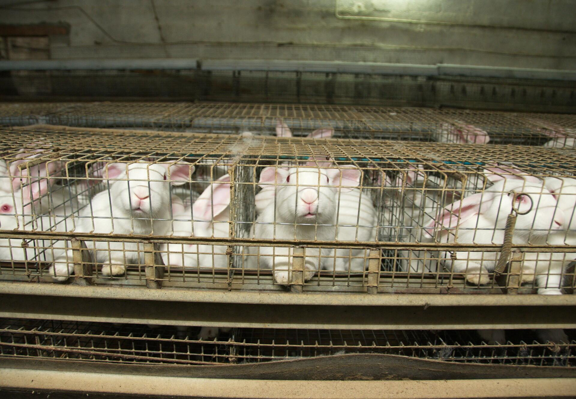 Farmed rabbits in cages, Italy