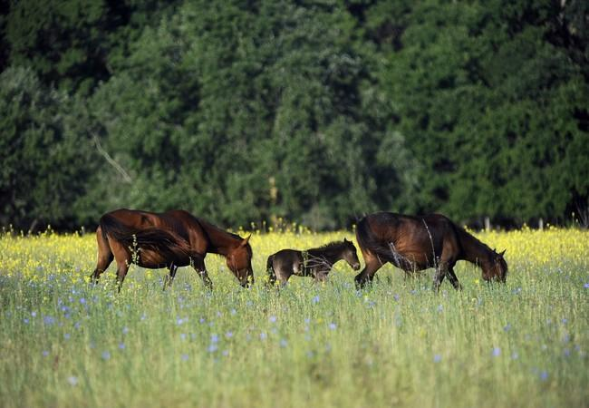 Wild horses and a foal in the Danube Delta
