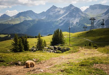 Arosa, Schweiz, 26.7.2018: Bär Napa erkundet zum ersten mal sein neues zu Hause im Arosa Bärenland.