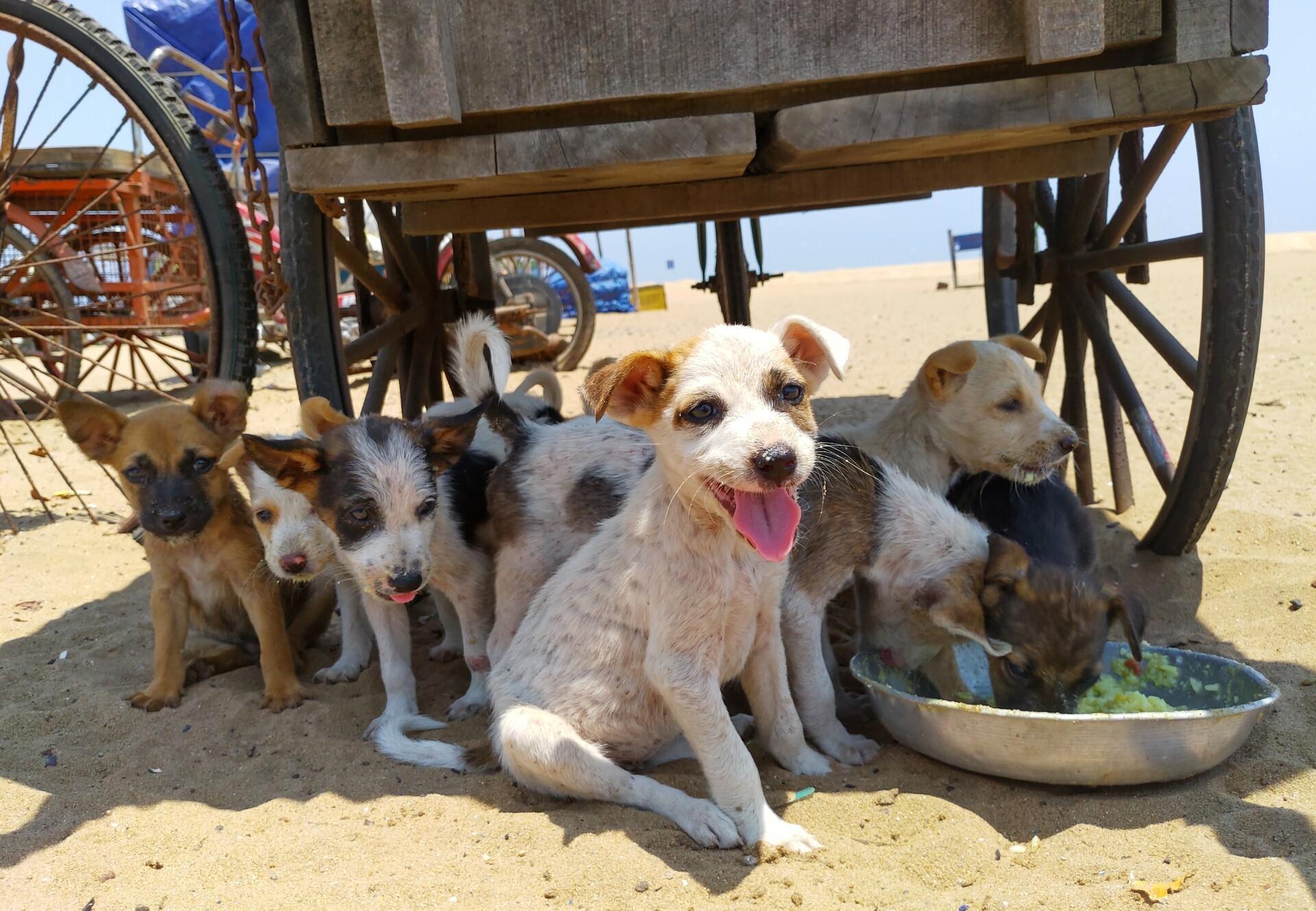 Streunerhunde in Indien