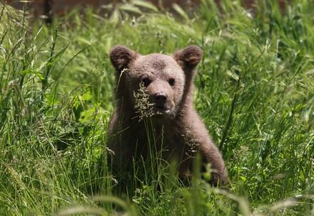 Bärenjunges sitzt im Gras