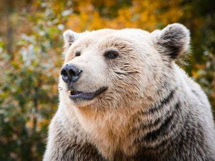 Brown bear Kassandra smiling