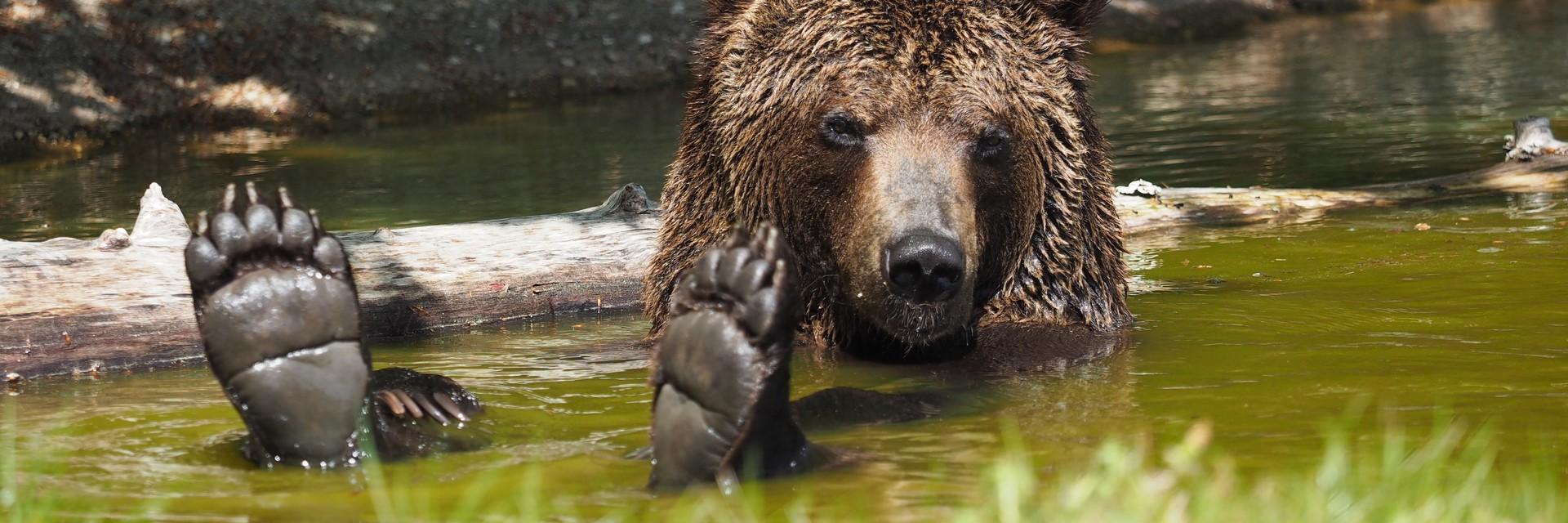 Bear Erich at BEAR SANCTUARY BEAR SANCTUARY Arbesbach