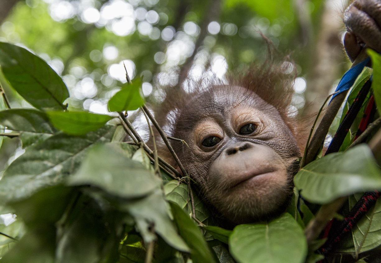 Orang-oetanweesje uit Borneo