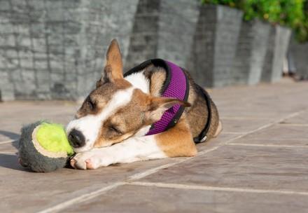 Hond Nanna speelt met een bal