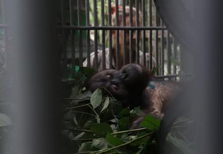 VIER PFOTEN Primatologin Signe Preuschoft hat Orang-Utan Robin nach der Operation gut unter Beobachtung (c) surgery of orang-utan Robin (c) Jejak Pulang | VIER PFOTEN | Agustina DS