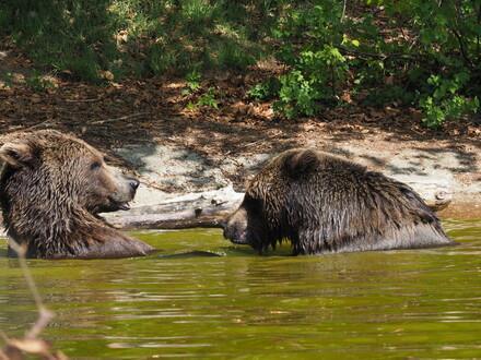 Bären Erich und Emma im Teich