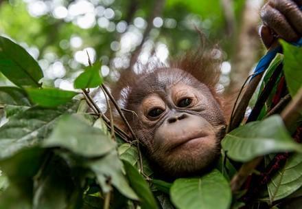 QUATRE PATTES vient en aide aux orangs-outans orphelins