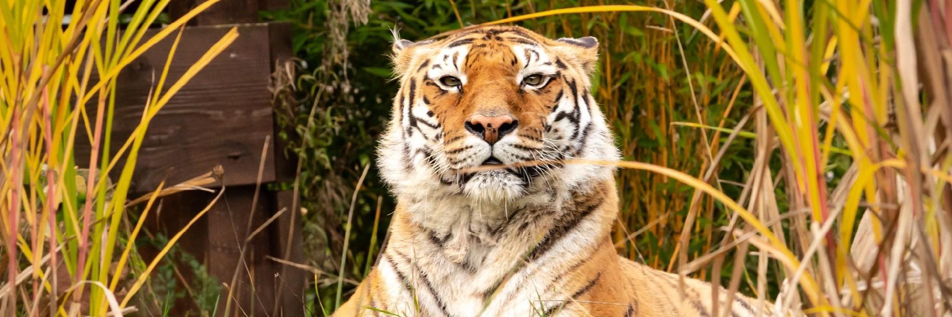 Tiger bei TIERART