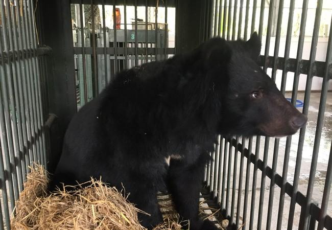 Rescued black bear in cage