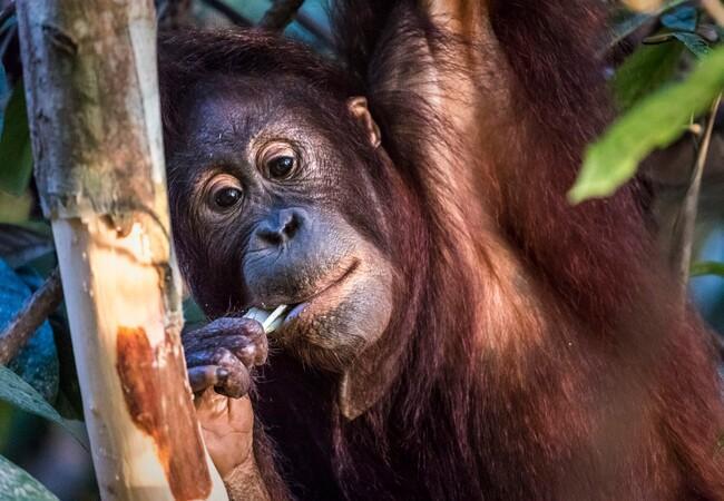 Orangutan Eska eating
