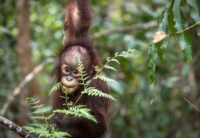 Orangutan Kartini exploring