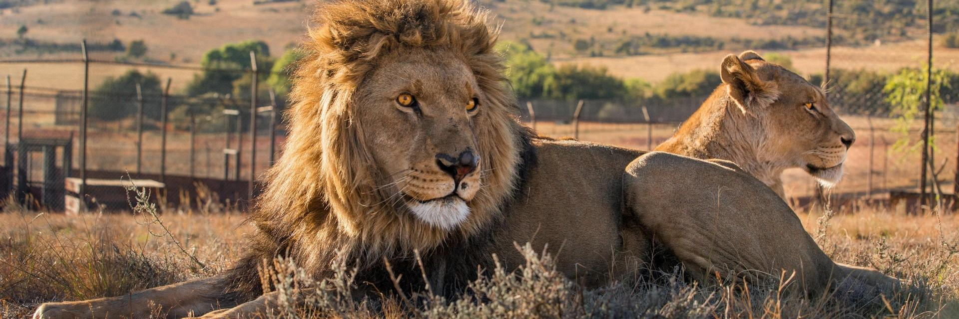 Two lions laying in field