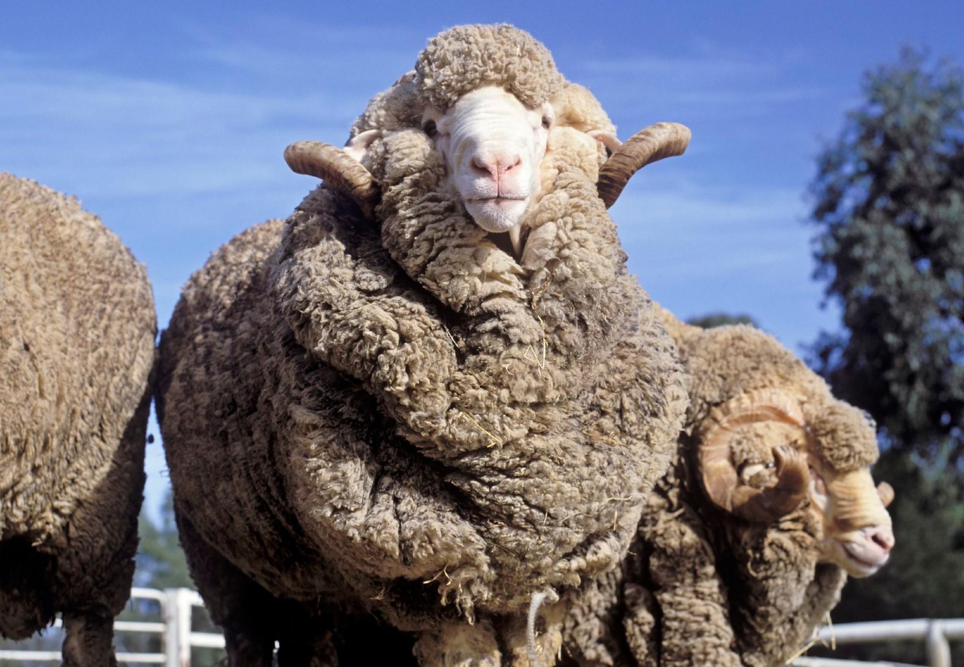 Schaf in Australien